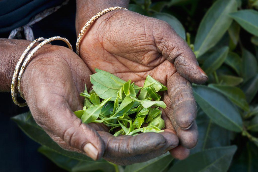 Thé de Ceylan au Sri Lanka