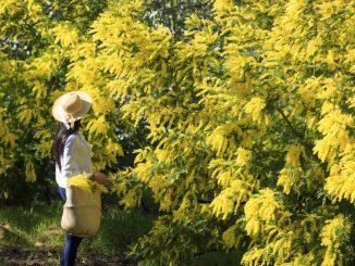 Le mimosa dans le massif du tanneron